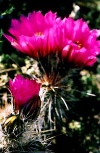 pinkcactusflower.jpg